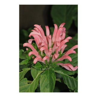 Shrimp Plant Nature Poster
