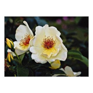 Shrub Rose Golden Wings Yellow flowers Announcement