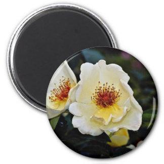 Shrub Rose 'Golden Wings' Yellow flowers Magnet