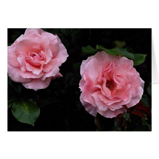 Shrub Rose Roses Greeting Card