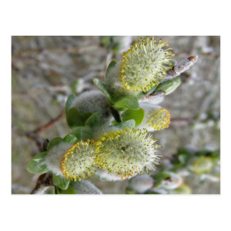 Shrub Willow Male Catkins Postcard