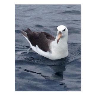 Shy Albatross Postcard