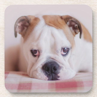 Shy English Bulldog Puppy Drink Coaster