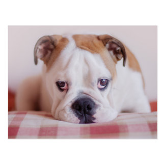 Shy English Bulldog Puppy Postcard