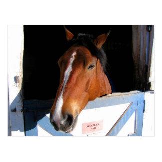 Shy Horse Postcard
