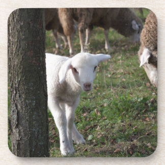 Shy lamb beverage coaster