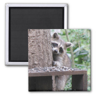 Shy Raccoon 2 Inch Square Magnet