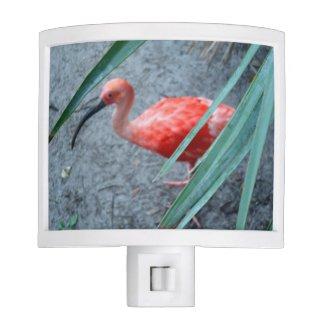 Shy Scarlet Ibis