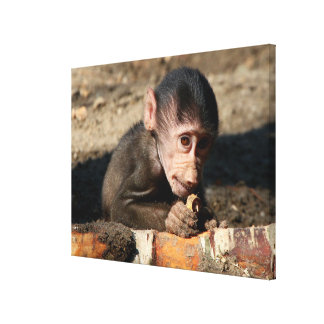 Shy Young Male Hamadryas Baboon (Papio) Canvas Print