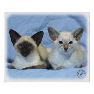 Siamese Cat 9W055D-100 Poster