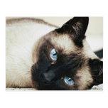 Siamese Cat Post Card