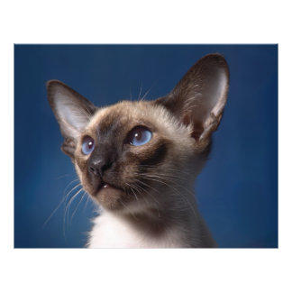 Siamese Cat with Blue Eyes Flyer