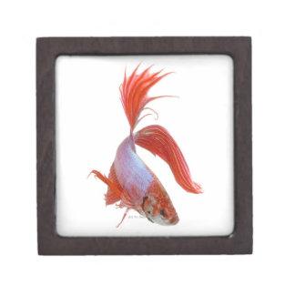 Siamese fighting fish (Betta splendens) Keepsake Box