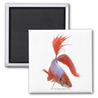 Siamese fighting fish (Betta splendens) Magnet