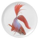 Siamese fighting fish (Betta splendens) Party Plates