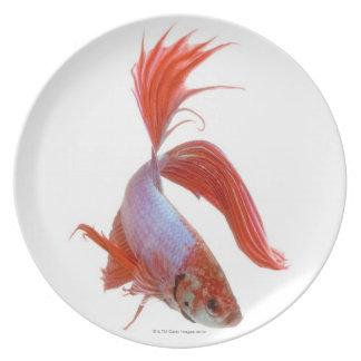 Siamese fighting fish (Betta splendens) Plate