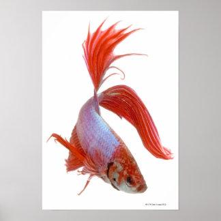Siamese fighting fish (Betta splendens) Poster