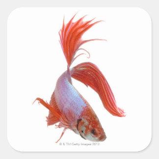 Siamese fighting fish (Betta splendens) Square Sticker