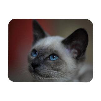 Siamese kitten rectangular photo magnet