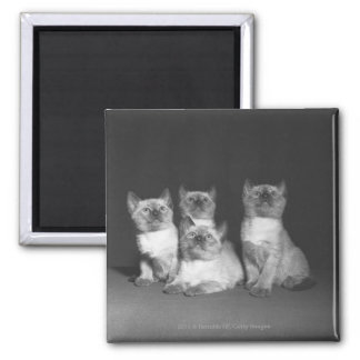 Siamese kittens looking up B&W Magnet