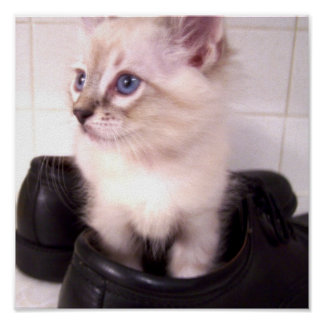 Siamese kitty in shoes Poster