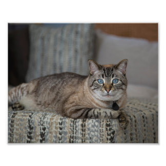 Siamese Lynx Point Cat Photo Print