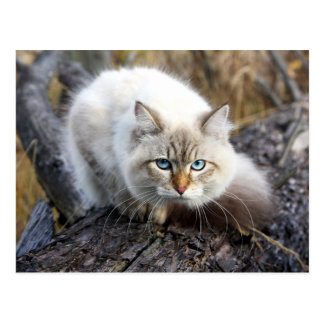Siberian Cat In A Autumn Forest Postcard