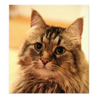 Siberian cat long hair cats long whiskers photo
