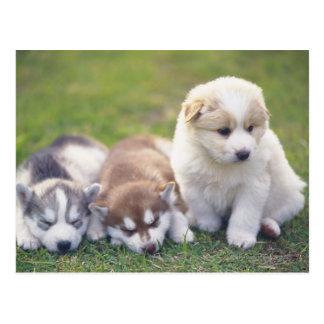 Siberian Husky; A working dog breed that Postcard