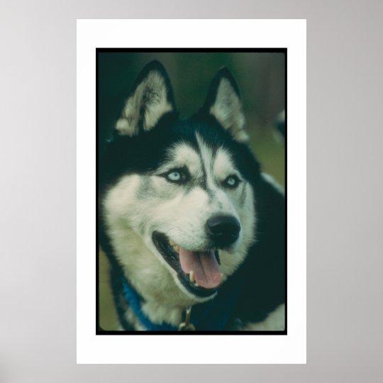 Siberian Husky Blue Eyes Poster