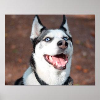 Siberian Husky dog blue eyes Poster