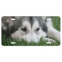 Siberian Husky Dog License Plate