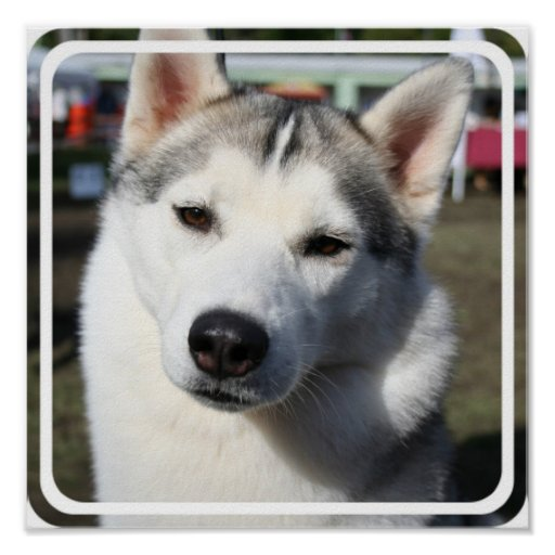 Siberian Husky Dog Photo Poster