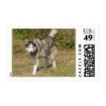 Siberian Husky Dog Postage Stamp