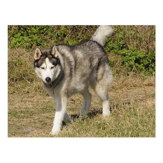 Siberian Husky Dog Postcard