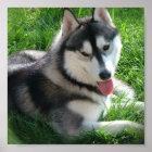 Siberian Husky Dog Print