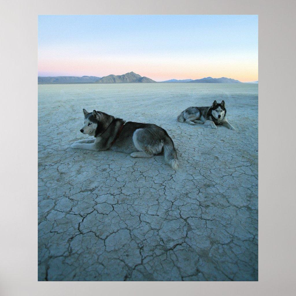 Siberian Husky Dogs, Global