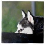 Siberian Husky Large Square Tile