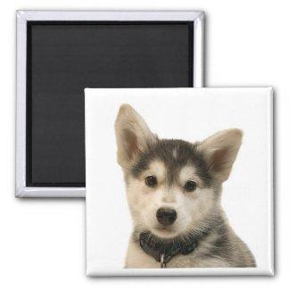 Siberian Husky Magnet magnet