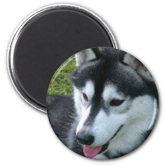 Siberian Husky Magnet Magnets