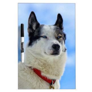 Siberian husky portrait Dry-Erase board