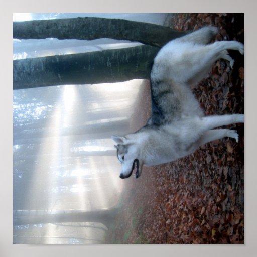 Siberian Husky - pósteres Impresiones