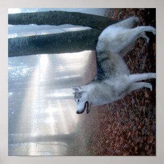 Siberian Husky - pósteres Póster