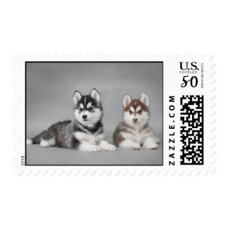 Siberian Husky puppies Postage