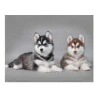 Siberian husky puppies postcard