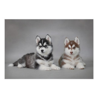 Siberian husky puppies posters