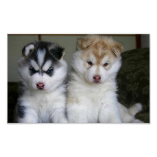 Siberian Husky Puppies Print