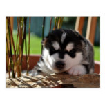Siberian Husky Puppy with Bamboo Post Cards