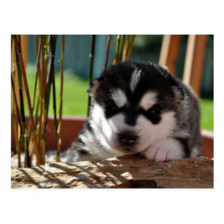 Siberian Husky Puppy with Bamboo Postcard