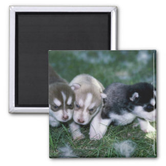Siberian Husky pups, 3 weeks 2 Inch Square Magnet